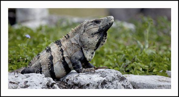 7674 iguana