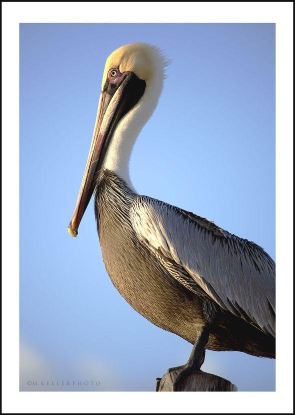 8242 pelican